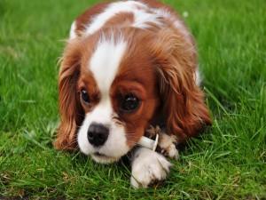 Cavalier King Charles Spaniel sobre la hierba