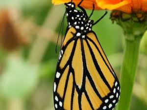 Mariposa bajo los pétalos de una flor