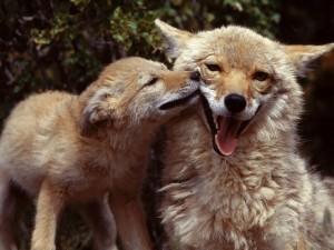 Un cachorro de coyote junto a su madre