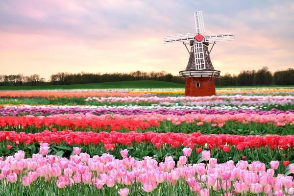 Tulipanes y molino de viento en Holanda
