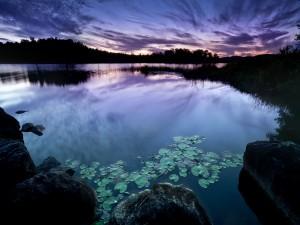Hojas de nenúfar en la superficie del río