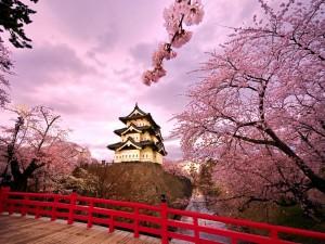 Cerezos en flor junto al castillo Hirosaki