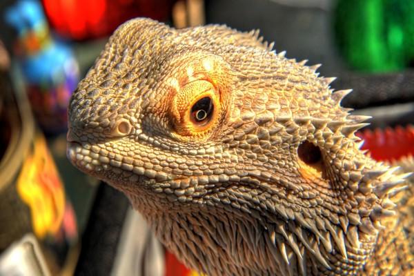 La cara de un lagarto