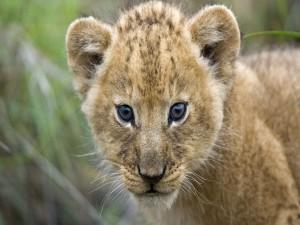 La mirada de un pequeño león