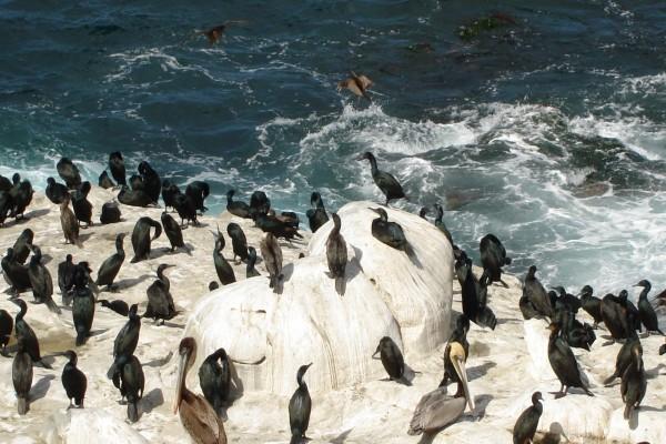 Pelícanos y otras aves junto al mar