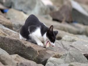 Gato comiendo un pez en las rocas
