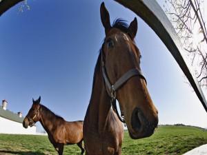 Postal: Dos caballos marrones tras la valla