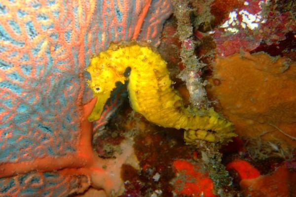Bonito caballito de mar de color amarillo