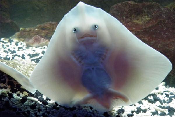 Pequeña raya pegada al cristal del acuario