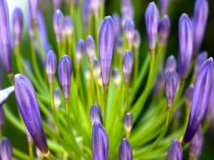 Postal: Pétalos cerrados de color lila en una gran flor
