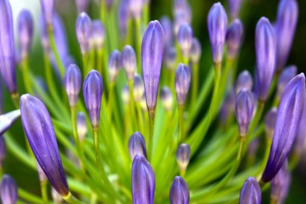 Pétalos cerrados de color lila en una gran flor