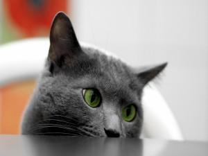 Un precioso gato gris y ojos verdes