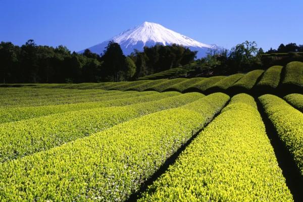 Vista del monte Fuji desde una plantación de té (Japón)
