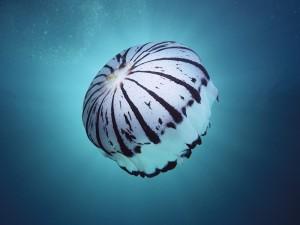 Postal: Medusas con rayas y manchas negras