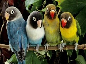 Cuatro periquitos posados en una rama