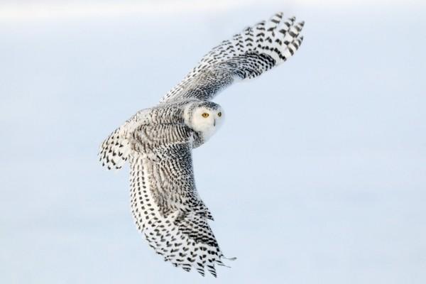 Un precioso búho nival en vuelo