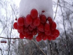 Bayas rojas cubiertas de nieve en un árbol
