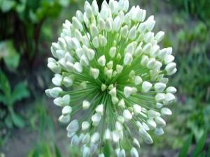 Flor con pequeñas flores cerradas