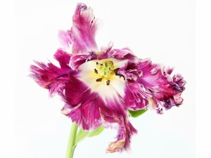 Tulipán en un primer plano