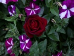 Una rosa y varias petunias