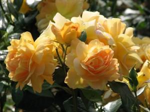 Postal: Rosas amarillas en la planta