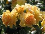 Rosas amarillas en la planta