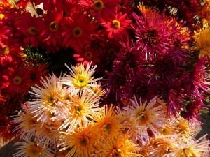 Postal: Hermosos crisantemos amarillos y rojos