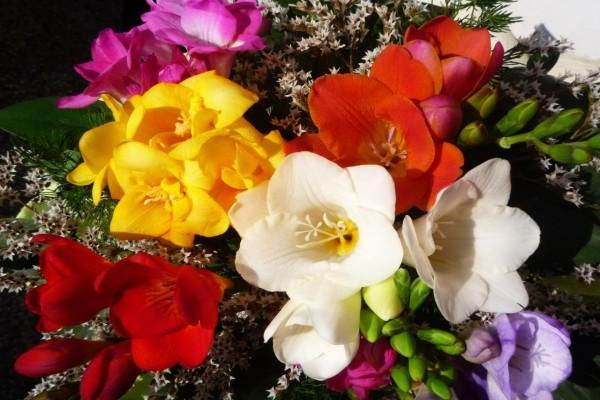Fresias de varios colores