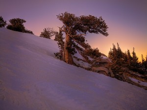 Árboles en una pendiente cubierta de nieve