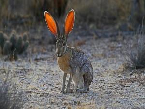Una liebre con grandes orejas