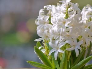 Postal: Bellos jacintos blancos