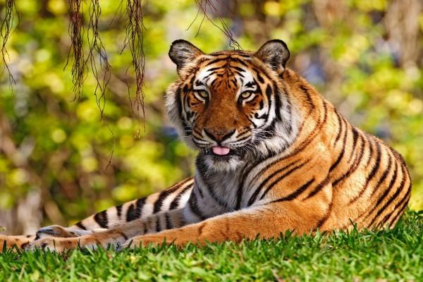 Un tigre descansando sobre la hierba