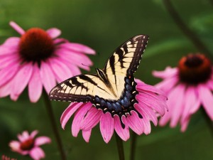 Mariposa sobre una flor de color rosa