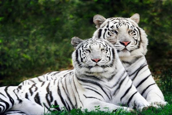 Tigres de Bengala de color blanco