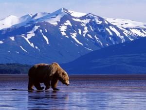 Postal: Un oso pardo junto al agua