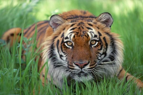 Un joven tigre de Bengala sobre la hierba
