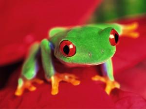 Postal: Una rana verde con ojos rojos