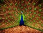 Un hermoso pavo real