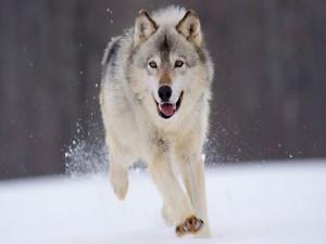 Postal: Un gran lobo corriendo sobre la nieve