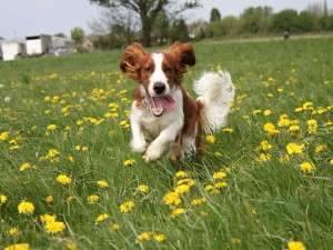 Postal: Perro corriendo en un campo con flores amarillas