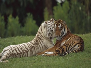Postal: Tigre blanco junto a un tigre de Bengala
