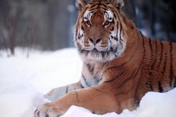 Un hermoso tigre tumbado en la nieve