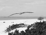 Albatros de Laysan volando sobre la playa
