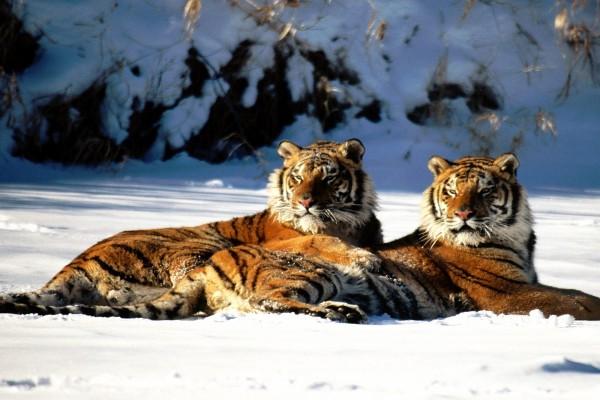 Dos tigres Siberianos reposando sobre la nieve