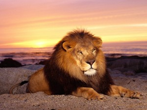 Un león tumbado al atardecer