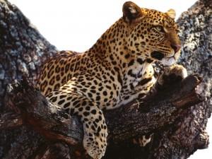 Un leopardo en las alturas