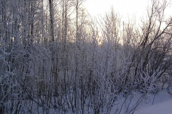 Matorrales cubiertos de nieve en invierno