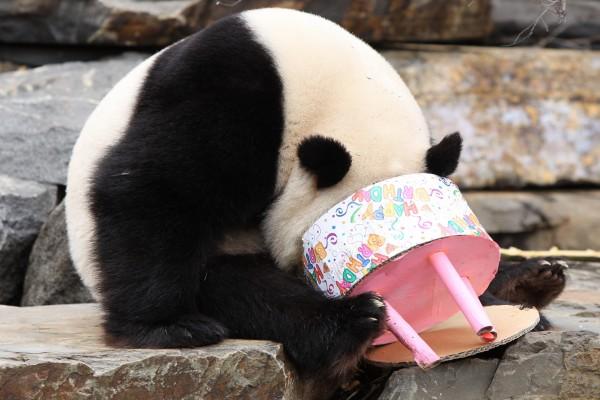 Un gracioso oso panda con la cabeza dentro de la tarta