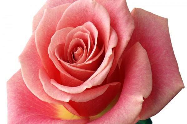 Magnífica rosa con pétalos rosa