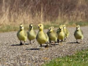 Familia de patos pequeños caminado por una carretera